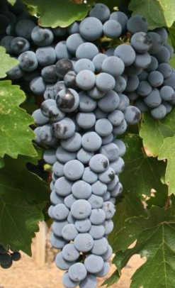 Patrick Webb 11 grapes