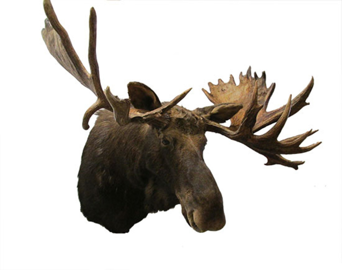 moose head wooden nickel antiques