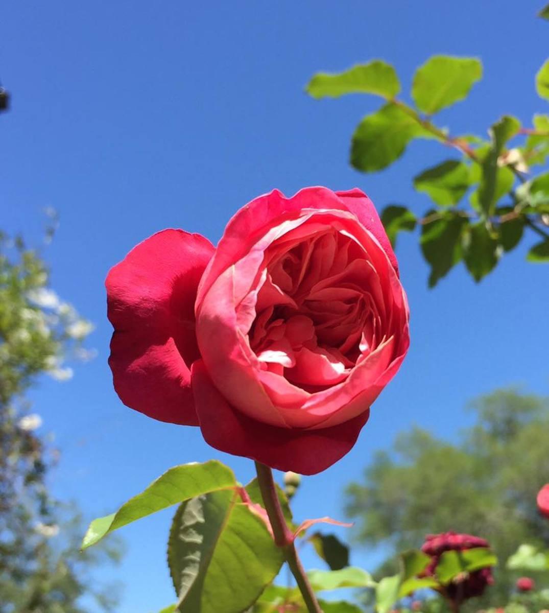 Charleston rose