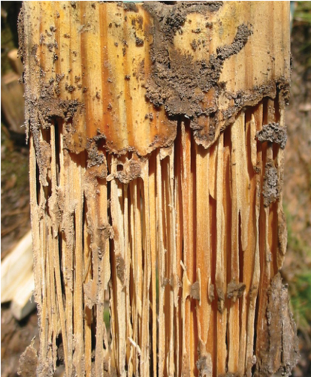 Fig. 2. Damage to untreated wood caused by termites after only six months of soil contact in Louisiana.undefinedCourtesy of Stan T. Lebow and the U.S. Forest Products Laboratory